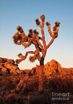Mae Wertz - Joshua Tree at Sunset