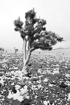 Andrew Brooks - Joshua Tree in Snow