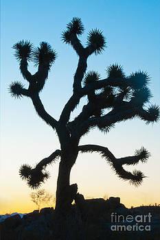Mae Wertz - Joshua Tree
