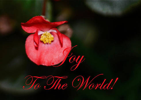Connie Fox - Joy to the World Begonia