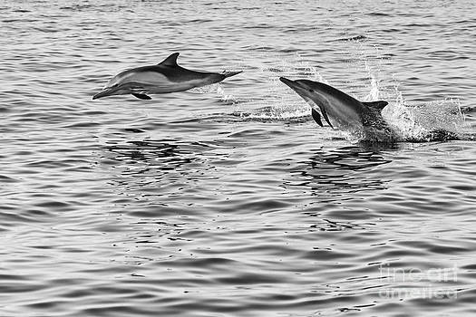 Jamie Pham - Jump for joy - Common Dolphins leaping.