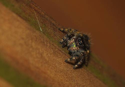 Billy  Griffis Jr - Jumping Spider