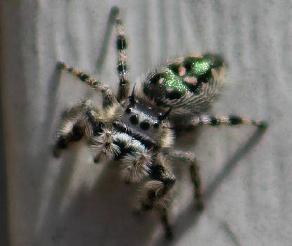 Jumping Spider by Candice Trimble