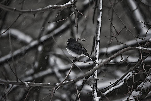 Junco by Christina Durity