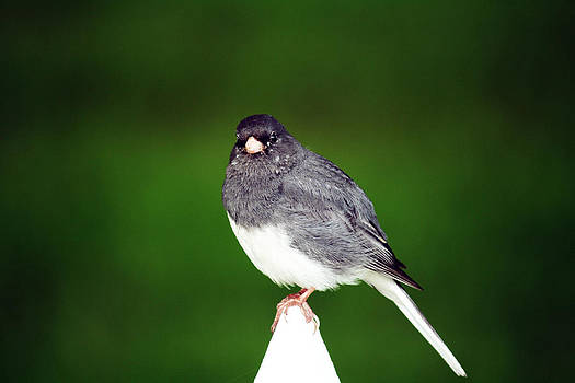Junco by Kathy J Snow