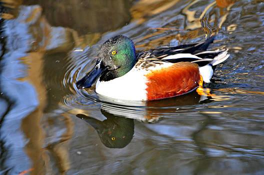 Marty Koch - Just Ducky