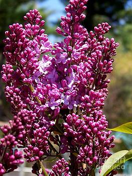 New Hampshire Lilac Just Opening by Eunice Miller