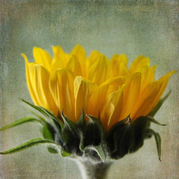 Just Opening Sunflower by Denyse Duhaime