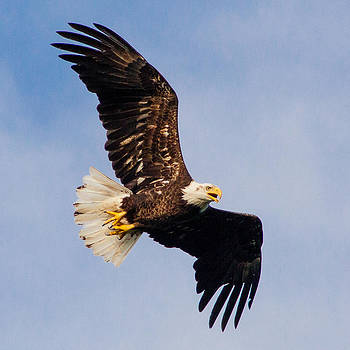 Juvenile Bald Eagle by Benjamin King
