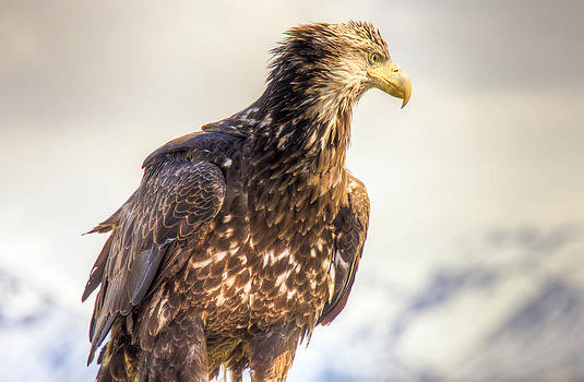 Juvenile Bald Eagle in Homer Alaska by Natasha Bishop