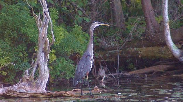 Rosemarie E Seppala - Juvenile Blue Heron In Manistee National Forrest Wetlands
