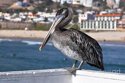 Susan Wiedmann - Juvenile Brown Pelican