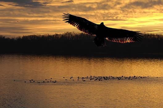 Randall Branham - Juvenile Eagle Golden Sunset