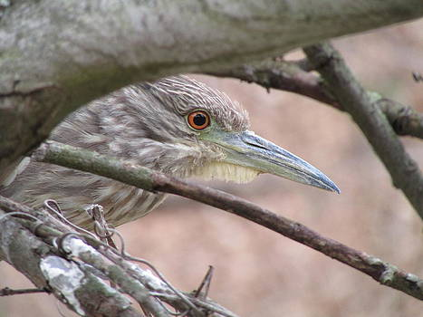 Juvenile Green Heron Blending In by J C