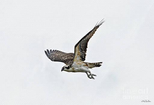 Juvenile Osprey Hunting by Skye Ryan-Evans