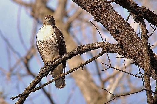 Joy Bradley - Juvenile Red-tailed Hawk