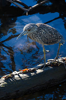 Juvenile Yellow Crowned Night-Heron by Ed Gleichman