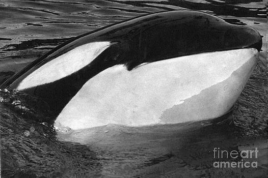 California Views Mr Pat Hathaway Archives - Kandu Orca Seattle Aquarium 1969 Pat Hathaway Photo killer whale Seattle
