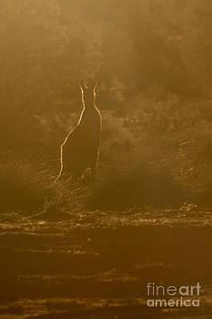 Kangaroo silhouette by Gabor Pozsgai