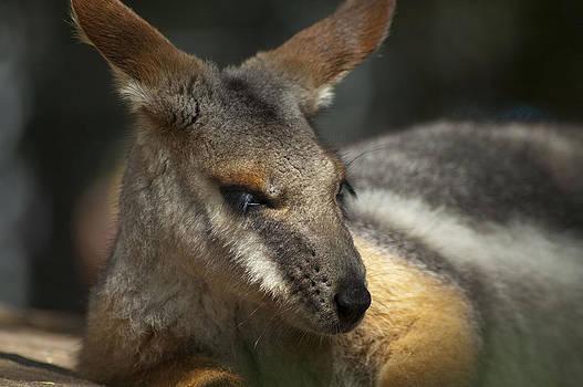Kangaroo Sleeping in the Sun by Sheri Heckenlaible