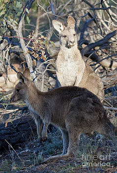 Steven Ralser - kangaroos - Australia