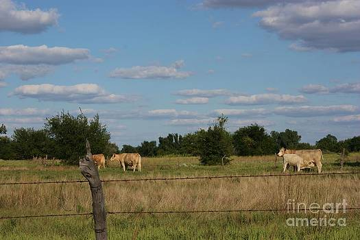 Kansas Cows in a Pasture by Robert D  Brozek
