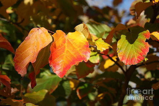 Kansas Fall leaves close up by Robert D  Brozek