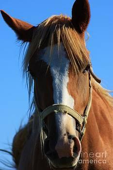 Kansas Horse Potrait Red and White by Robert D  Brozek