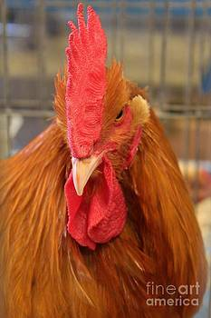 Kansas Red Orange Rooster Close up by Robert D  Brozek