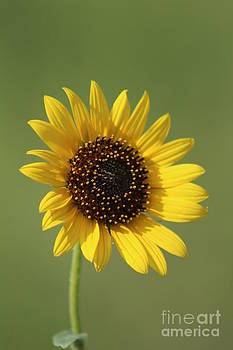 Kansas WildSunflower with green background by Robert D  Brozek
