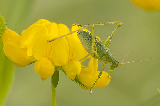 Katydid on Birdsfoot Trefoil by Kathryn Whitaker