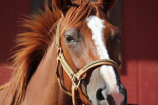Kauai Horse by Bonita Hensley