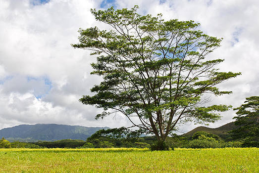 Kauai Umbrella Tree by Shane Kelly