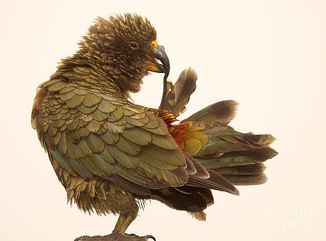 Kea Grooming Tail by Max Allen