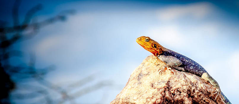 Kenyan rock agama Agama lionotus by Jim DeLillo
