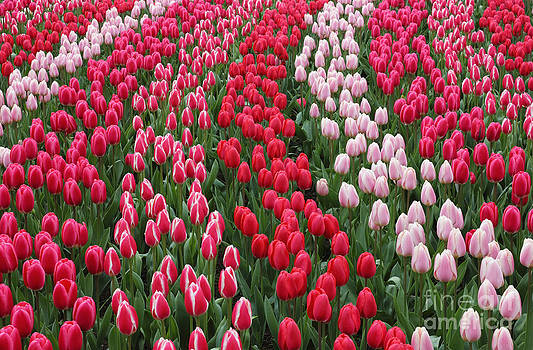 Keukenhof garden red tulips by Kiril Stanchev