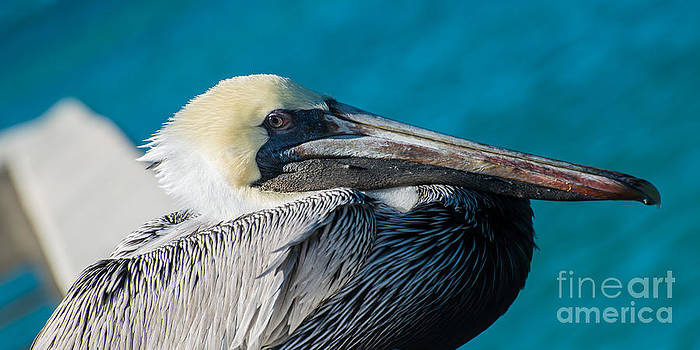 Ian Monk - Key West Pelican Closeup - panoramic