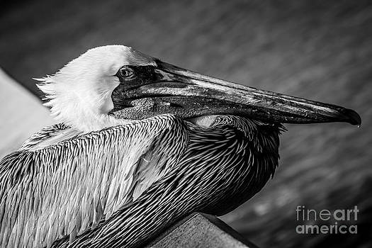 Ian Monk - Key West Pelican Closeup - Pelecanus Occidentalis - Black and White