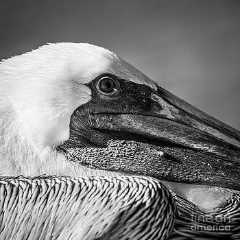 Ian Monk - Key West Pelican Closeup - Square - Black and White