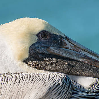 Ian Monk - Key West Pelican Closeup - Square