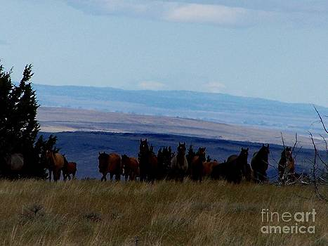 Kiger Mustang Band in Steens Mountains Oregon by Craig Downer