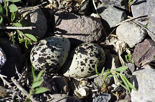 Eric Rundle - Kildeer Nest