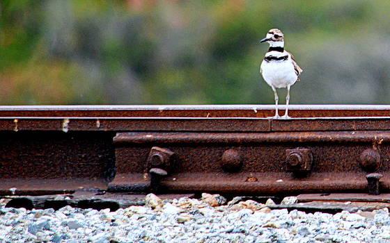 Killdeer on the Tracks by AJ  Schibig