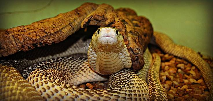 King Cobra by Jessica Grandall