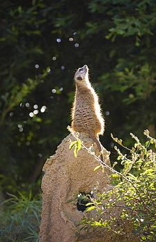 King Of The Meerkats by Brad Emerick