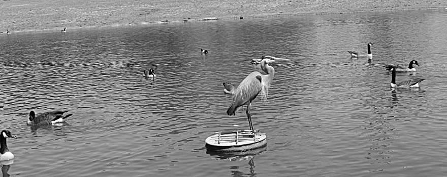 King of the Pond by Sarah E Kohara