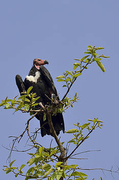King of the Vultures by Fotosas Photography