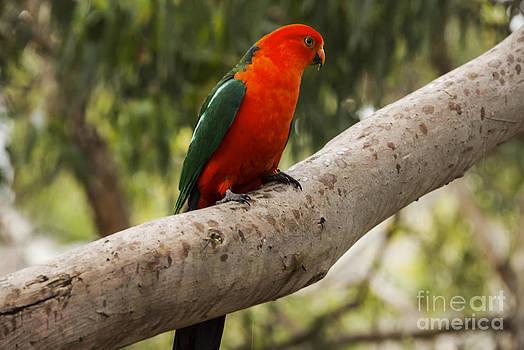 Bob Phillips - King Parrot