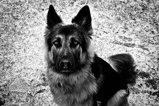 Frank J Casella - King Shepherd Dog - Monochrome