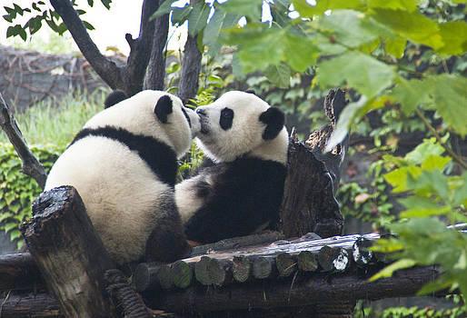 Dennis Cox - Kissing pandas